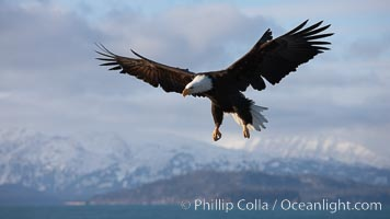 Bald eagle in flight, sidelit, cloudy sky and Kenai Mountains in the background, Haliaeetus leucocephalus, Haliaeetus leucocephalus washingtoniensis, Kachemak Bay, Homer, Alaska