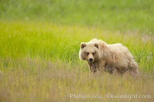Brown bear cubs, one and a half years old, Ursus arctos, Lake Clark National Park, Alaska