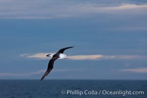 Black-browed albatross, in flight over the ocean.  The wingspan of the black-browed albatross can reach 10', it can weigh up to 10 lbs and live for as many as 70 years, Thalassarche melanophrys