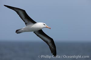 Black-browed albatross in flight.  The black-browed albatross is a medium-sized seabird at 3137&#34; long with a 7994&#34; wingspan and an average weight of 6.410 lb. They have a natural lifespan exceeding 70 years. They breed on remote oceanic islands and are circumpolar, ranging throughout the Southern Oceanic, Thalassarche melanophrys