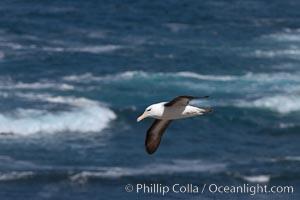 Black-browed albatross, Steeple Jason Island, Thalassarche melanophrys