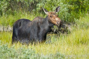 Adult female moose in deep meadow grass near Christian Creek., Alces alces,  Copyright Phillip Colla, image #13039, all rights reserved worldwide.