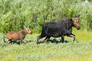 Mother and calf moose wade through meadow grass near Christian Creek, Alces alces, Grand Teton National Park, Wyoming
