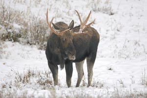 A male moose, bull moose, on snow covered field, near Cooke City, Alces alces, Yellowstone National Park, Wyoming
