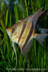 Altum angelfish, Pterophyllum altum