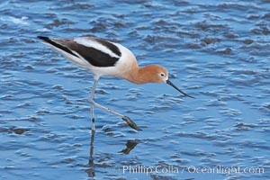 American avocet, female breeding plumage, forages on mud flats, Recurvirostra americana, Upper Newport Bay Ecological Reserve, Newport Beach, California