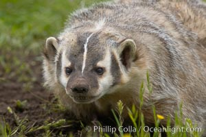 American badger.  Badgers are found primarily in the great plains region of North America. Badgers prefer to live in dry, open grasslands, fields, and pastures, Taxidea taxus