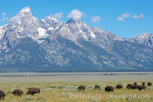 Bison herd grazes below the Teton Range. Grand Teton National Park, Wyoming, USA, Bison bison, natural history stock photograph, photo id 13004