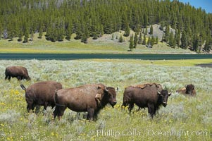 The Hayden herd of bison grazes near the Yellowstone River, Bison bison, Hayden Valley, Yellowstone National Park, Wyoming