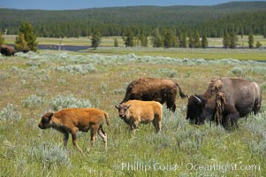 The Hayden herd of bison grazes, a mix of mature adults and young calves, Bison bison, Hayden Valley, Yellowstone National Park, Wyoming