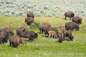 The Lamar herd of bison grazes, a mix of mature adults and young calves. Lamar Valley, Yellowstone National Park, Wyoming, USA, Bison bison, natural history stock photograph, photo id 13148