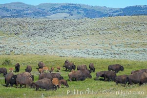 The Lamar herd of bison grazes, a mix of mature adults and young calves, Bison bison, Lamar Valley, Yellowstone National Park, Wyoming