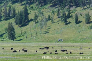The Lamar herd of bison grazes in the Lamar Valley. The Lamar Valleys rolling hills are home to many large mammals and are often called Americas Serengeti, Bison bison, Yellowstone National Park, Wyoming