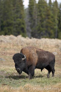 Bison, Bison bison, Yellowstone National Park, Wyoming