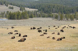 Bison herds, Hayden Valley, Bison bison, Yellowstone National Park, Wyoming