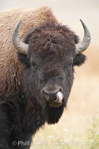 Bison. Yellowstone National Park, Wyoming, USA, Bison bison, natural history stock photograph, photo id 19610