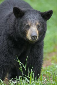 Black bear walking in a grassy meadow.  Black bears can live 25 years or more, and range in color from deepest black to chocolate and cinnamon brown.  Adult males typically weigh up to 600 pounds.  Adult females weight up to 400 pounds and reach sexual maturity at 3 or 4 years of age.  Adults stand about 3' tall at the shoulder, Ursus americanus, Orr, Minnesota