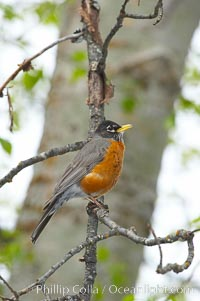 American robin.  Yosemite Valley, Turdus migratorius, Yosemite National Park, California