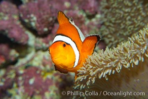 Percula clownfish anemonefish, Amphiprion percula