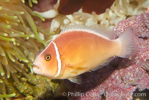 Pink anemonefish., Amphiprion perideraion, natural history stock photograph, photo id 12906