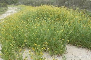 Ranchers fiddleneck, also known as common fiddleneck, blooms in spring, Amsinckia menziesii, San Elijo Lagoon, Encinitas, California
