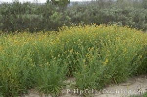 Ranchers fiddleneck, also known as common fiddleneck, blooms in spring, Amsinckia menziesii, San Elijo Lagoon, Encinitas, California
