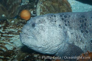 Wolf eel, although similar in shape to eels, is cartilaginous and not a true fish.  Its powerful jaws can crush invertibrates, such as spiny sea urchins.  It can grow to 6 feet (2m) in length, Anarrhichthys ocellatus