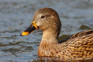 Mallard, female, Anas platyrhynchos, Santee Lakes