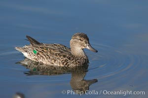 Teal, female, likely blue-winged teal (Anas discors) or green-winged teal (Anas crecca), Anas, Upper Newport Bay Ecological Reserve, Newport Beach, California