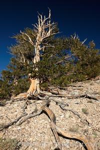 Ancient bristlecone pine tree, roots spread wide and exposed over dolomite-rich soil, rising above the arid slopes of the Schulman Grove in the White Mountains at an elevation of 9500 above sea level, along the Methuselah Walk.  The oldest bristlecone pines in the world are found in the Schulman Grove, some of them over 4700 years old. Ancient Bristlecone Pine Forest, Pinus longaeva, White Mountains, Inyo National Forest