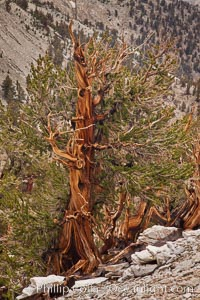 Ancient bristlecone pine tree, rising from arid, dolomite-rich slopes of the Patriarch Grove in the White Mountains at an elevation of 11,000 above sea level, White Mountains, Inyo National Forest