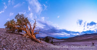 Ancient Bristlecone Pine Tree at sunset, panorama, with storm clouds passing over the White Mountains.  The eastern Sierra Nevada is just visible in the distance. Ancient Bristlecone Pine Forest, White Mountains, Inyo National Forest, California, USA, Pinus longaeva, natural history stock photograph, photo id 28780