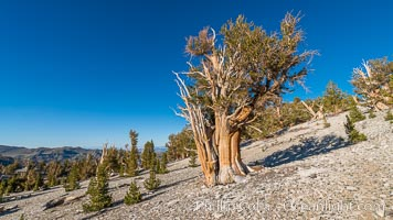 Ancient Bristlecone Pine tree, White Mountain Wilderness, Inyo National Forest, Pinus longaeva, Ancient Bristlecone Pine Forest, White Mountains, Inyo National Forest