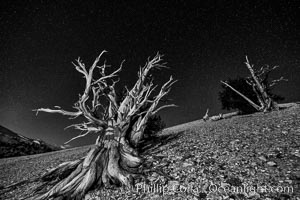 Ancient bristlecone pine trees at night, under a clear night sky full of stars, lit by a full moon, near Patriarch Grove. White Mountains, Inyo National Forest, California, USA, Pinus longaeva, natural history stock photograph, photo id 28539