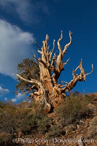Ancient bristlecone pine tree in the White Mountains, at an elevation of 10,000' above sea level.  These are some of the oldest trees in the world, reaching 4000 years in age, Pinus longaeva, Ancient Bristlecone Pine Forest, White Mountains, Inyo National Forest