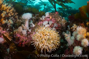 Colorful anemones and soft corals, bryozoans and kelp cover the rocky reef in a kelp forest near Vancouver Island and the Queen Charlotte Strait.  Strong currents bring nutrients to the invertebrate life clinging to the rocks