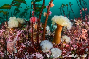 Colorful anemones and soft corals, bryozoans and kelp cover the rocky reef in a kelp forest near Vancouver Island and the Queen Charlotte Strait.  Strong currents bring nutrients to the invertebrate life clinging to the rocks, Metridium farcimen