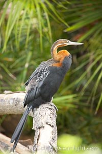 African darter.   Darters are also known as snakebirds because they swim with only their heads and necks out of the water.  A hinge mechanism at the birds eighth neck vertebra enables the bird to strike, snapping up insects on the water and stabbing fish.  A stabbed fish is shaken loose, flipped up in the air and swallowed head first, Anhinga rufa rufa