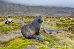 Antarctic fur seal. South Georgia Island, Arctocephalus gazella, natural history stock photograph, photo id 26349