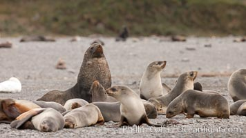 A colony of Antarctic fur seals, with the adult male (bull) in the center of his mating harem of females and juvenile fur seals. Right Whale Bay, South Georgia Island, Arctocephalus gazella, natural history stock photograph, photo id 24351