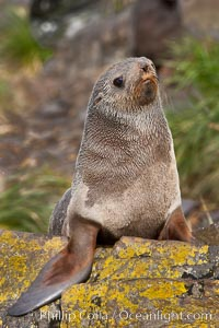 Antarctic fur seal. Hercules Bay, South Georgia Island, Arctocephalus gazella, natural history stock photograph, photo id 24392