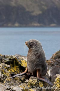 Image 24422, Antarctic fur seal, adult male (bull). Hercules Bay, South Georgia Island, Arctocephalus gazella, Phillip Colla, all rights reserved worldwide. Keywords: animal, animalia, antarctic fur seal, arctocephalus, arctocephalus gazella, atlantic, caniformia, carnivora, chordata, fur seal, gazella, hercules bay, mammal, mammalia, oceans, otariidae, pinniped, south georgia island, united kingdom, vertebrata, vertebrate, wildlife.