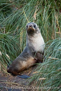 Antarctic fur seal on tussock grass, Arctocephalus gazella, Grytviken
