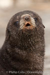 Antarctic fur seal, young pup, juvenile. Fortuna Bay, South Georgia Island, Arctocephalus gazella, natural history stock photograph, photo id 24597