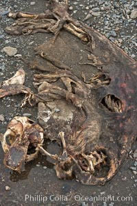Antarctic fur seal carcass, lying on pebble beach.  Dead fur seals are quickly scavenged by giant petrels, leaving the pelt and skeleton of the dead fur seal, Arctocephalus gazella, Right Whale Bay