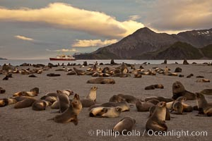 Antarctic fur seal colony, on a sand beach alongside Right Whale Bay, with the mountains of South Georgia Island in the background, sunset, Arctocephalus gazella