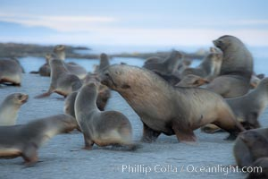 Adult male Antarctic fur seal (bull), chasing down a female in his harem to confirm his dominance, during mating season, Arctocephalus gazella, Right Whale Bay