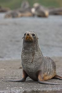 Antarctic fur seal, Arctocephalus gazella, Right Whale Bay