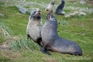 Antarctic fur seals, on tussock grass slopes near Grytviken. Grytviken, South Georgia Island, Arctocephalus gazella, natural history stock photograph, photo id 24546