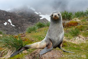 Antarctic fur seal, on grass slopes high above Fortuna Bay, with the cloudy heights of South Georgia Island rising in the background. Fortuna Bay, South Georgia Island, Arctocephalus gazella, natural history stock photograph, photo id 24595